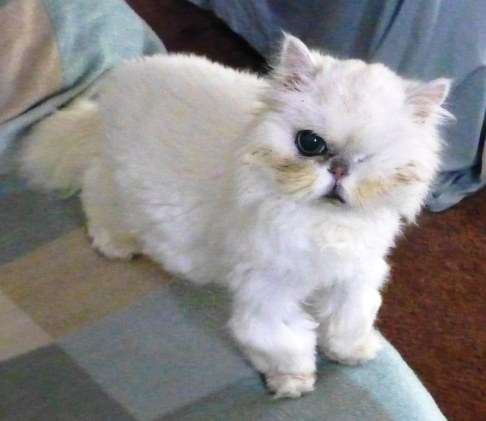 Okey the Persian cat