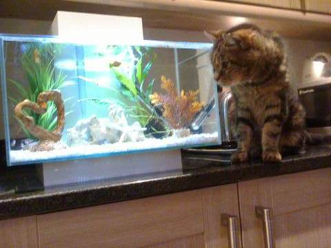 Ollie cat by fish tank