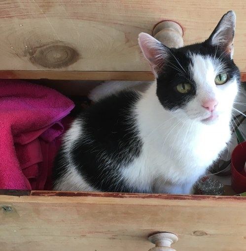 Dennis the cat in a drawer - cat sitting Eastbourne