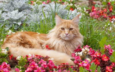 Maine Coon cat in flowerbed