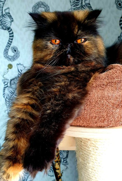 Persian cat of cat sitter in Yorkshire